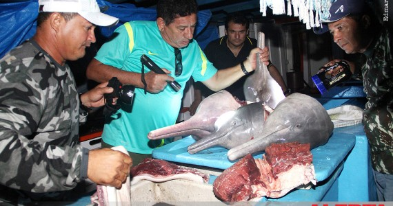 Red Alert – Environmental police and the government of Tapauá, Amazonas, Brazil in action. 20 pink dolphins killed by a single vessel in the Amazon